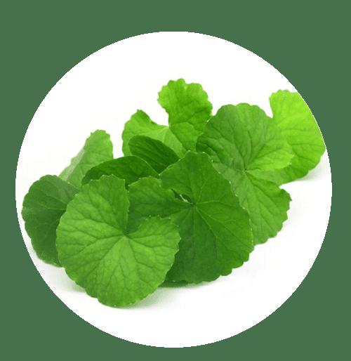 ikhrah.com - Centella asiatica –(Daun Pegaga)